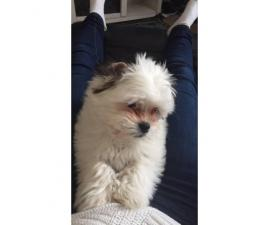 Beautiful 3 months old mini havanesse puppy for sale