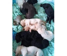 7 girls 2 boys Labradoodle puppies