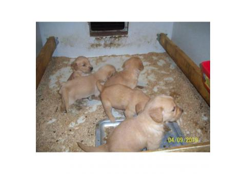1 male and 1 female CKC registered golden retrievers