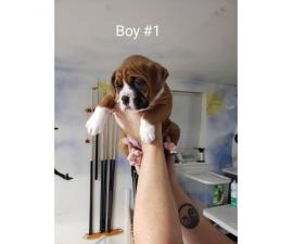 We've 1 male boxer puppy for sale