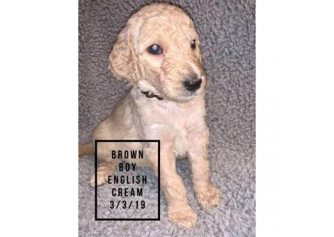 Standard Golden Doodles for Sale