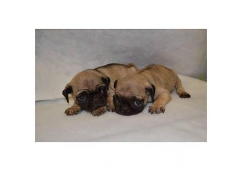2 beautiful Pug Puppies $500 each