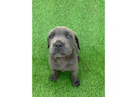 100% Cane Corso 1 male and 4 females left