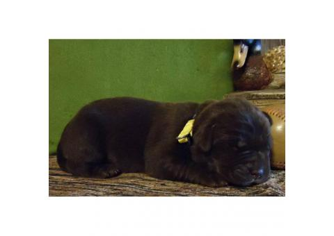 8 beautiful AKC Labrador puppies