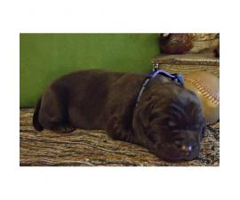 8 beautiful AKC Labrador puppies