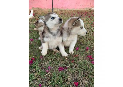 6 gorgeous husky puppies, ready for new home