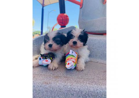 Adorable Shih Tzu Pups Ready For Brand New Home