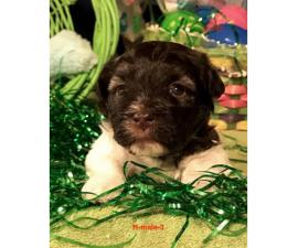 Beautiful AKC Havanese pups for rehoming