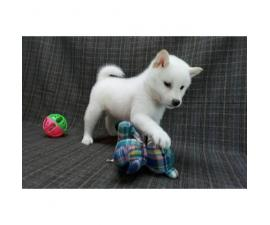 12 weeks old Akita Pups for Sale