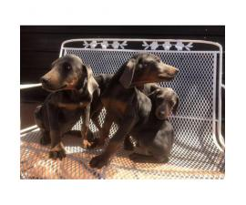 11 weeks old Doberman puppies for sale - pets  only