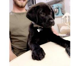 3 months old black lab puppy for sale