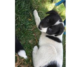11 adorable mixed Collie breed puppies