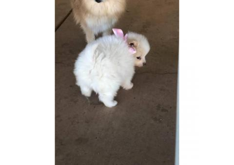 Cute and friendly cream & sable Pomeranian puppies