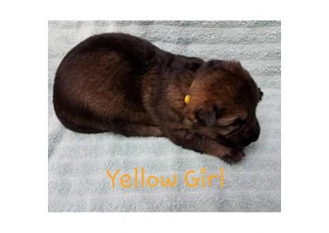 AKC German / Czech Shepherd Puppies 3 males and 3 females left