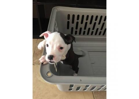 7 beautiful pit puppies available