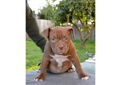 14 weeks old American Bully female puppy available