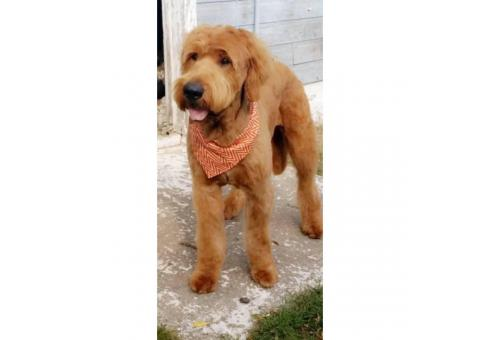 Purebred golden retriever simply due date April 16th