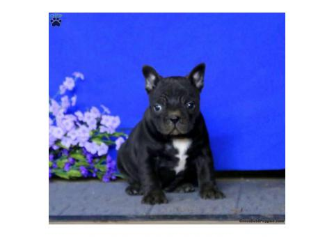 Friendly Frenchton pup seeking her forever home