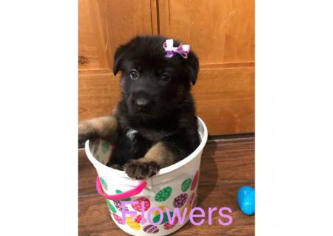 Akc German Shepherd puppies 4 males and 2 females left available
