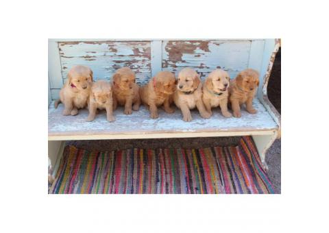 5 Golden Retriever puppies are ready to reserve now