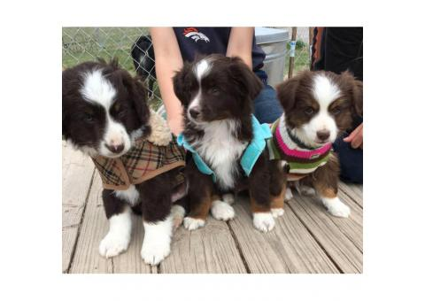 9 Weeks old Mini Australian Shepherd puppies