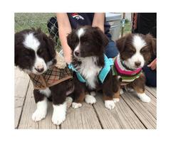 9 Weeks old Mini Australian Shepherd puppies