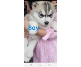 4 puppies Siberian Husky 2 males and 2 females