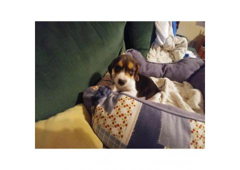 Purebred & Weened Beagle puppies