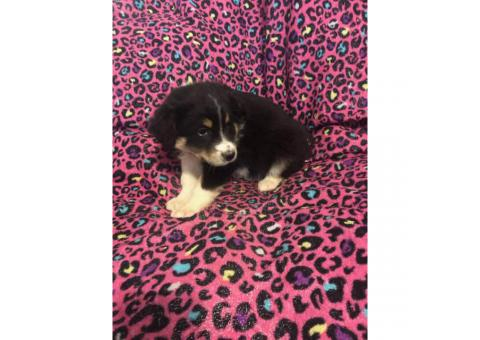 Australian shepard puppies asking 200 each