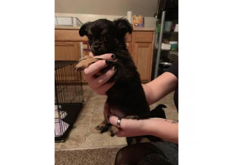 2 boy long hair Chiweenie puppies available