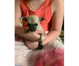 5 chihuahua puppies ready to go now