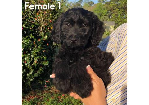 F1 generation Teddy Bear Goldendoodle