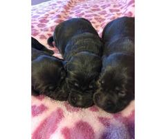 1 black female Akc registered lab puppy left