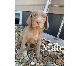Weimaraner male puppy for sale