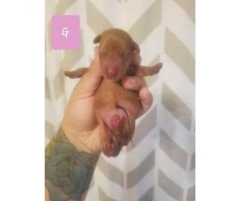 Full Breed Red  Short Haired CKC Miniature Dachshunds