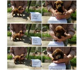 Redbone coonhound puppies available