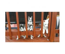 4 pure breed huskies for sale