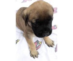 Beautiful, sweet English Mastiff puppies need loving homes