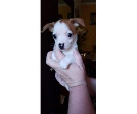 Tiny 8 week old chihuahua puppy for sale