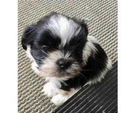 Adorable Male Shih-Tzu puppy for Sale
