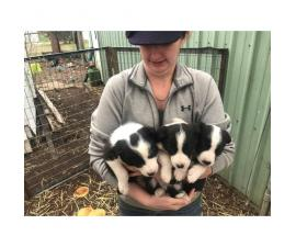 3 boys and 3 girls Border Collies for Sale