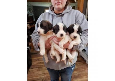 2 litters of SAINT BERNARD puppies