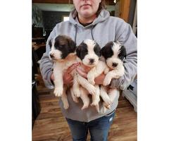 2 litters of SAINT BERNARD puppies