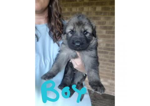 5 german shepherd puppies with full registration papers