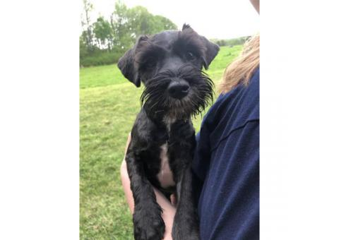 3 miniature schnauzer puppies trying to find their new homes