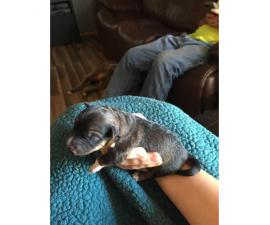5 blue heeler pups for sale