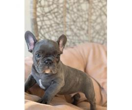 9 weeks old  French Bulldog Puppies for Sale