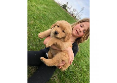 4 females AKC registered golden retriever puppies  available