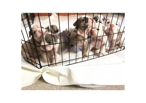 AKC English Bulldog puppies 6 girls 2 boys