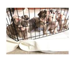 AKC English Bulldog puppies 6 girls 2 boys